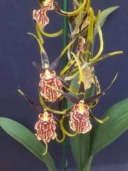 Орхидея Камбрия  - PR3850