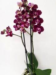 Орхидея фаленопсис PR3781