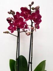 Орхидея фаленопсис PR3780