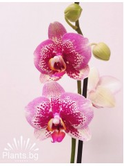 Орхидея фаленопсис PR3787