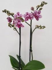 Орхидея фаленопсис PR3779