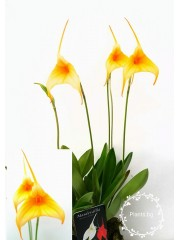 Oрхидея Масдевалия  (Мasdevallia)