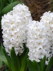 Зюмбюл (Hyacinthus White) PR1020