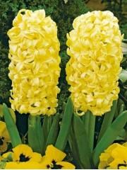 Зюмбюл (Hyacinthus City of Haarlem yellow) PR1021