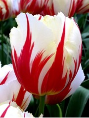 Лале (Tulipa 'Carnaval de Rio') PR977