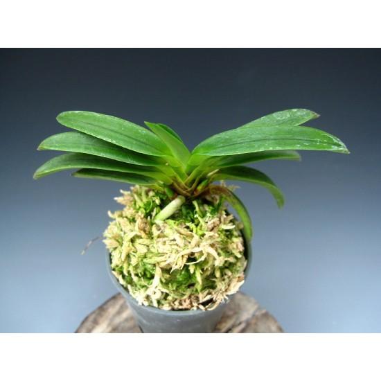 Орхидея Неофинетия (Neofinetia falcata Kutsuwamushi)