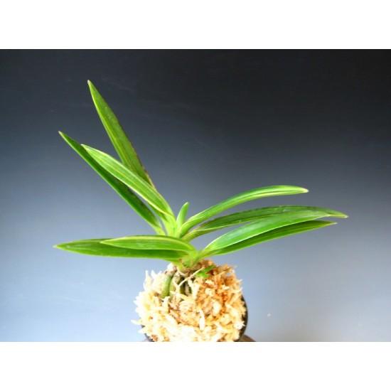 Орхидея Неофинетия (Neofinetia falcata Shinkoto)