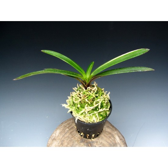 Орхидея Неофинетия (Neofinetia falcata Hakuseiryu)
