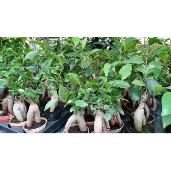 Бонсай (Ficus ginseng)