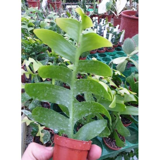 Епифилум Epiphyllum Chrysocardium