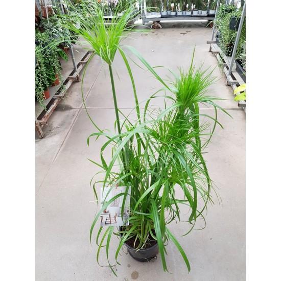 Водна палма (Cyperus diffusus)
