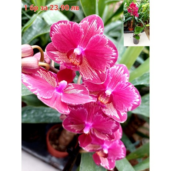 Орхидея Фаленопсис Касия