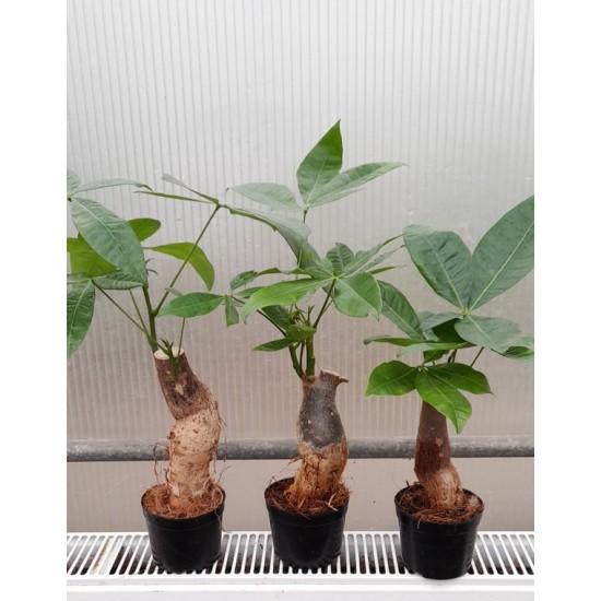 ПАХИРА - дървото на парите