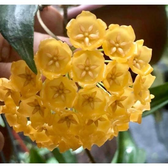 Хоя (Hoya blashernaezii)