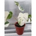 Вариегатни растения