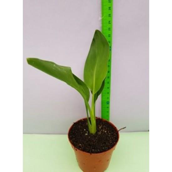 Стрелиция (Райска птица) - Малки растения