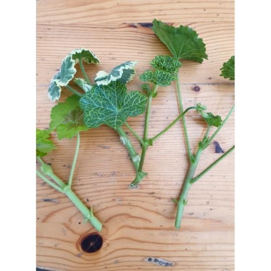 """Пеларгониум Pelargonium """"Jackie"""" -резник"""
