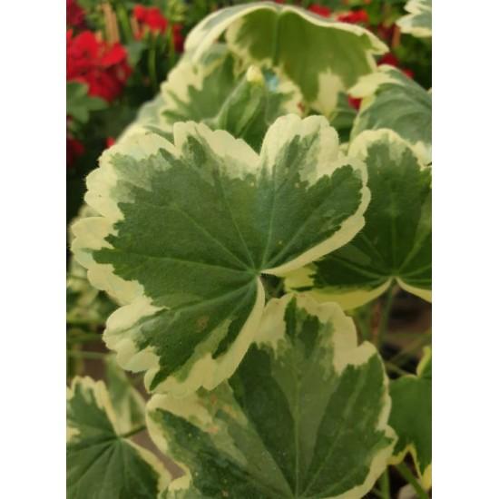 """Пеларгониум Pelargonium """"Mme Salleron"""" -резник"""