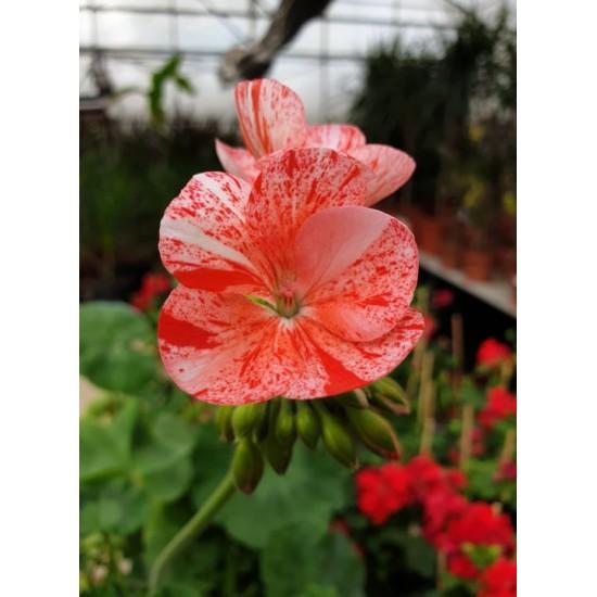 """Пеларгониум Pelargonium """"Avenida Mosaic Red"""" -резник"""