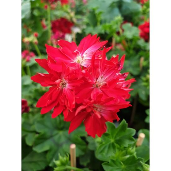 """Пеларгониум Pelargonium """"Zoe Kathleen"""" -резник"""