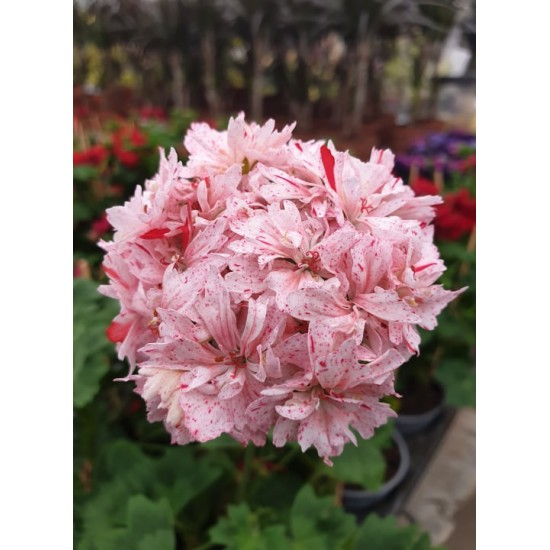 "Пеларгониум Pelargonium ""Richard Hodgson"" -резник"