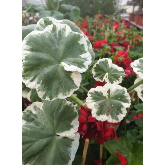 """Пеларгониум Pelargonium """"Wilhelm Langguth"""" -резник"""