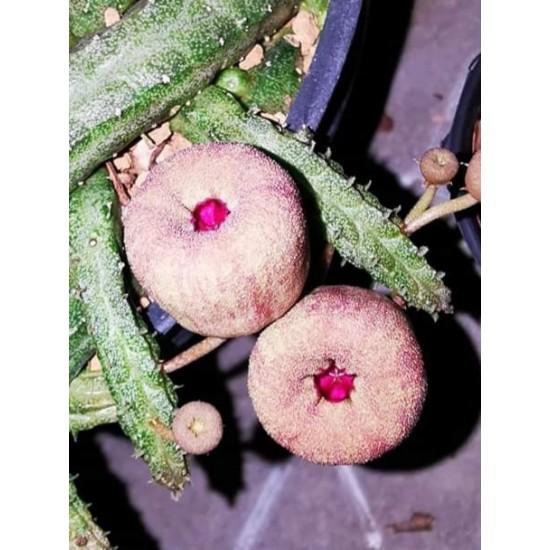 Сукулент Echinopsis Malum