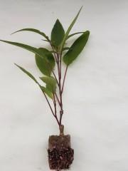 Лилав пъпеш - Solanum Muricatum Pepino purple