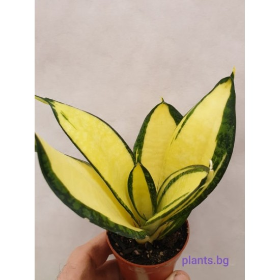 Сансевиера Sansevieria Golden Wendy