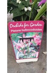 Орхидея Плейоне-Bulbocodioides
