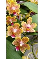 Орхидея Фаленопсис-Lucky Star-