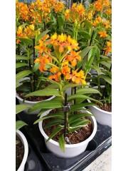 Епидендрум (Еpidendrum) - оранжев