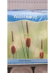 Папурово растение -Typha Minima-