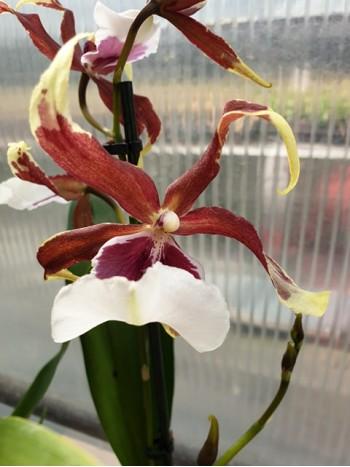 Орхидея Камбрия-2броя