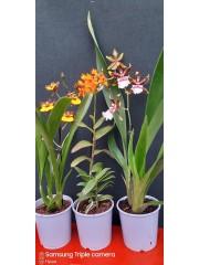Орхидеи-3броя-комплект