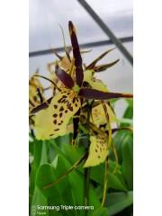 Орхидея-Брасия