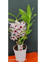 Орхидея Дендробиум-Nobile