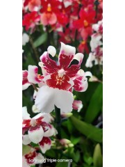 Орхидея-Камбрия