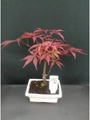 Бонсай-Acer Palmatum