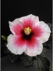 Хибискус-Китайска роза