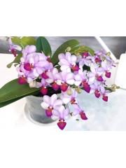 Орхидея Фаленопсис-Lius Cute Angel-