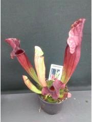 Насекомоядно растение-Сарацения-Saraccenia-