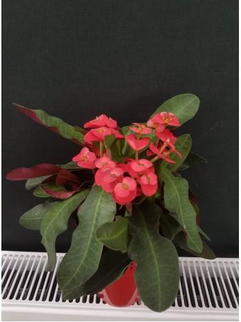 Исусов венец (Euphorbia milii)