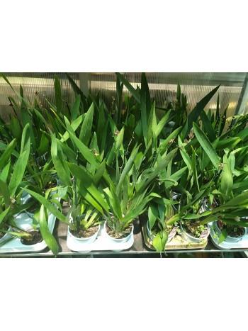 Орхидея-Камбрия-Прецъфтяла