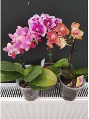 Комплект орхидея фаленопсис-ВТОРО КАЧЕСТВО!