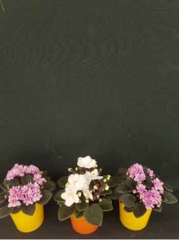 Сентполия мини Комплект от 3 броя - 2 розови и 1 бяла