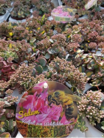 Седум вариегатен - Sedum sieboldii variegatum