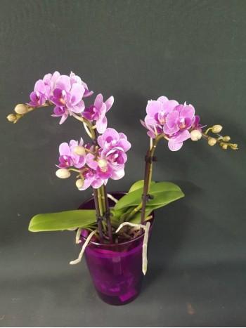 Орхидея Фаленопсис -виолетов