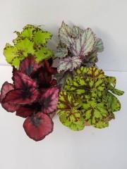 Бегония  (Begonia Rex) - 4 броя