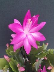 Коледниче-розово (Schlumbergera)